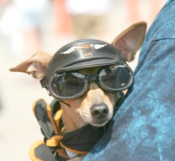 Dog with Harley hat and goggles on.