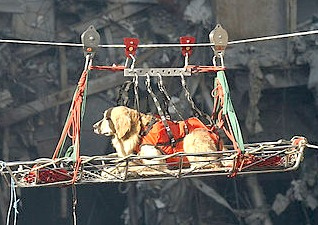 Search and rescue dog being hauled across 9/11 wreckage. Source:WikimediaCommons