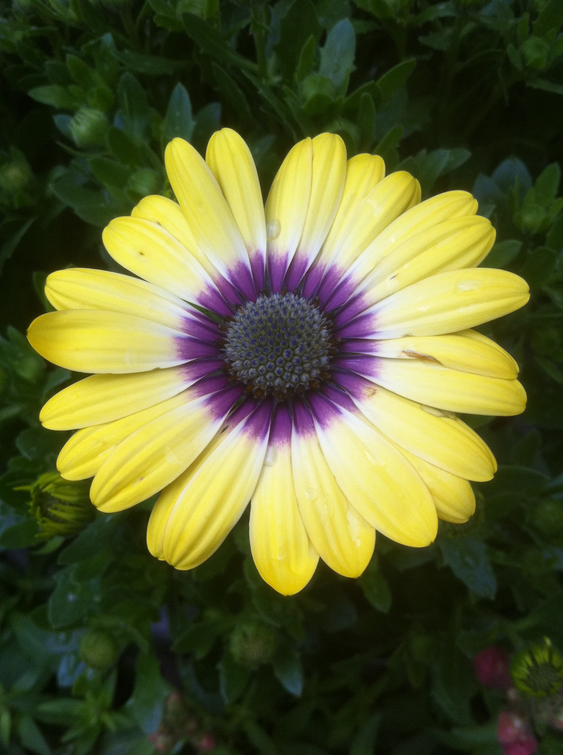 Yellow African Daisy.