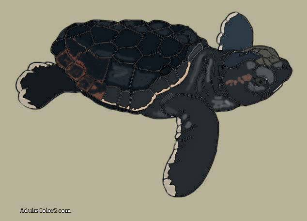 My drawing of a baby loggerhead colored in.