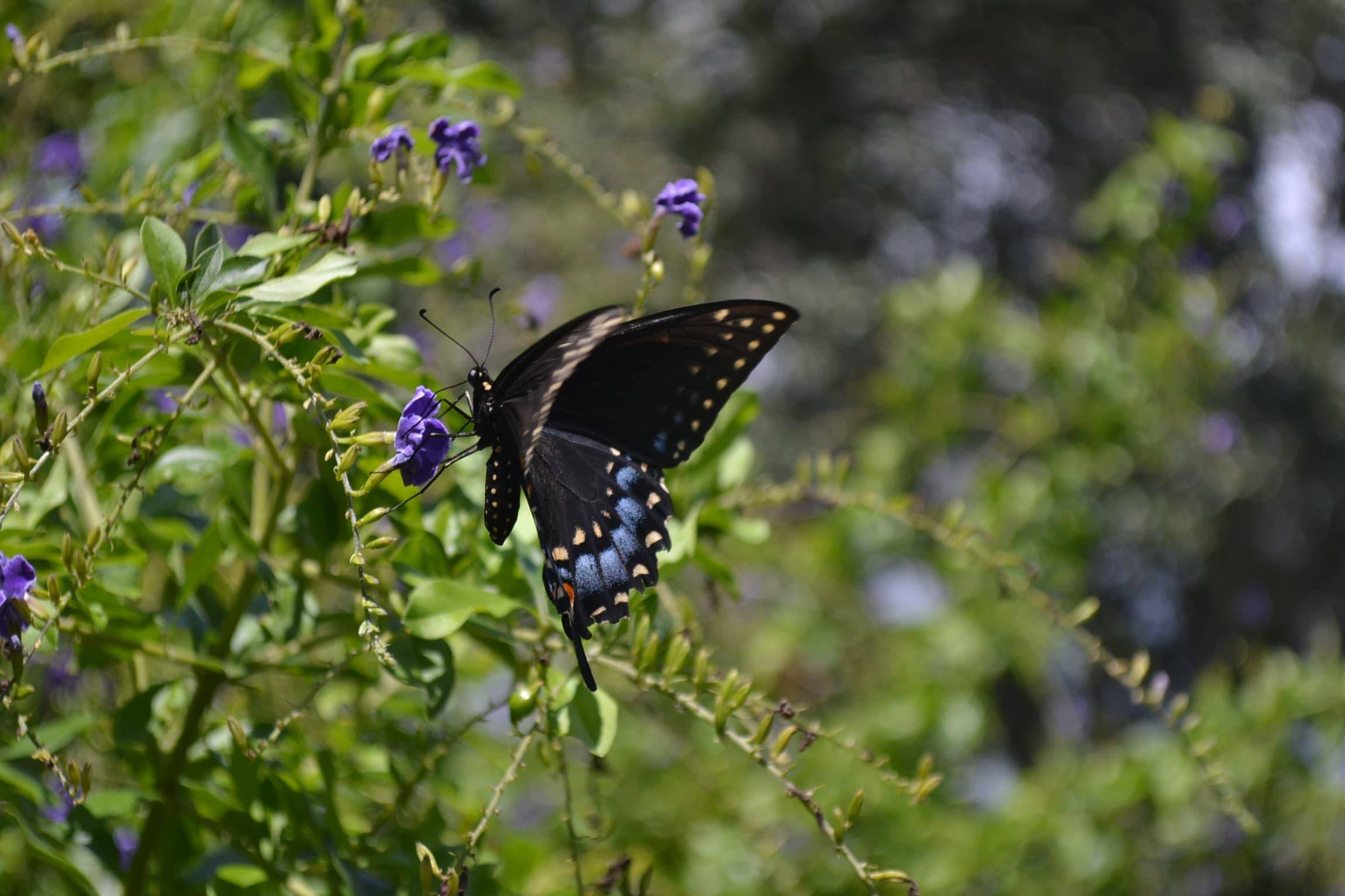 Black swallowtail feeding in my backyard.