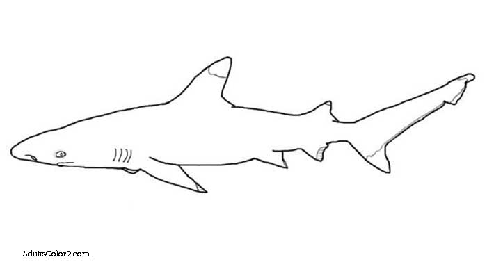 Blacktip shark drawing.