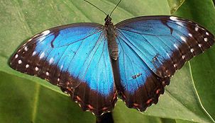 Blue morpho. Source: wikimediaCommons