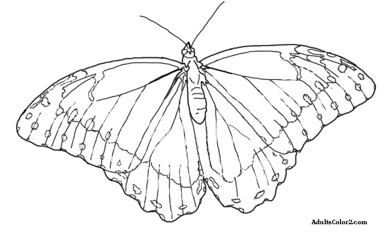 Drawing of a blue morpho butterfly.