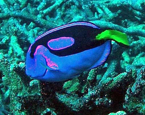 Blue reef fish swimming through coral. Wikimedia