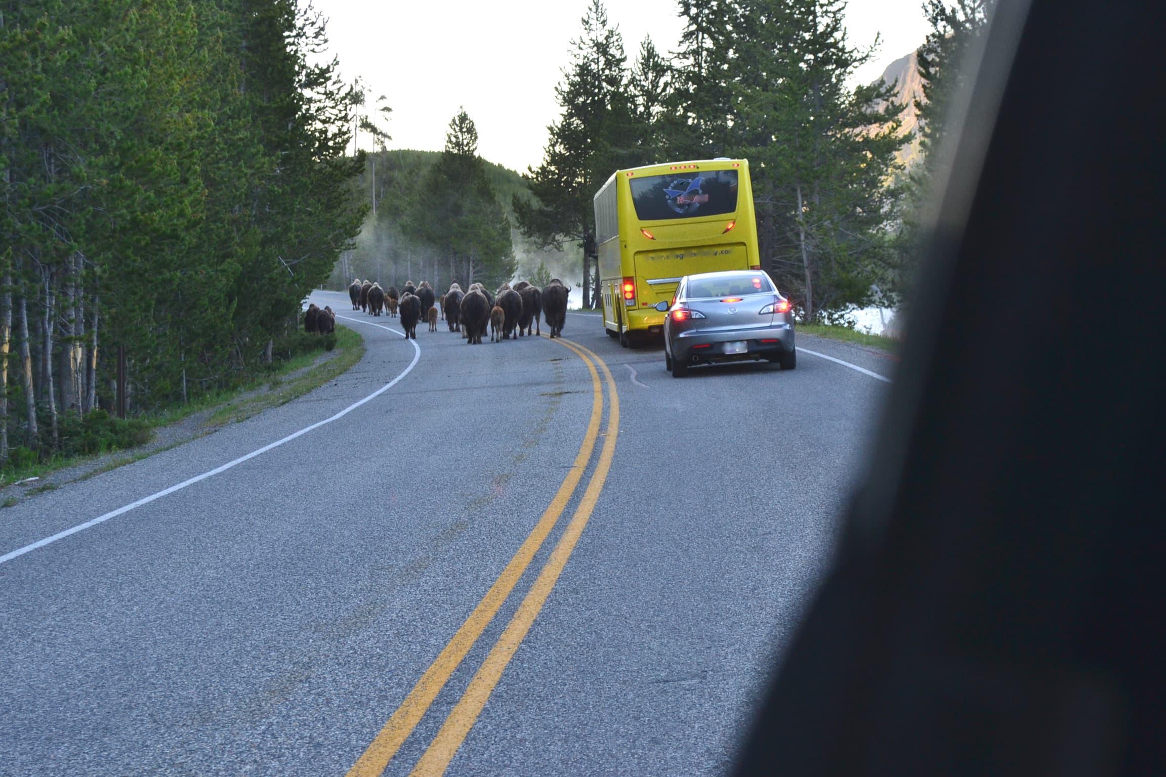 Buffalo morning commute Yellowstone.