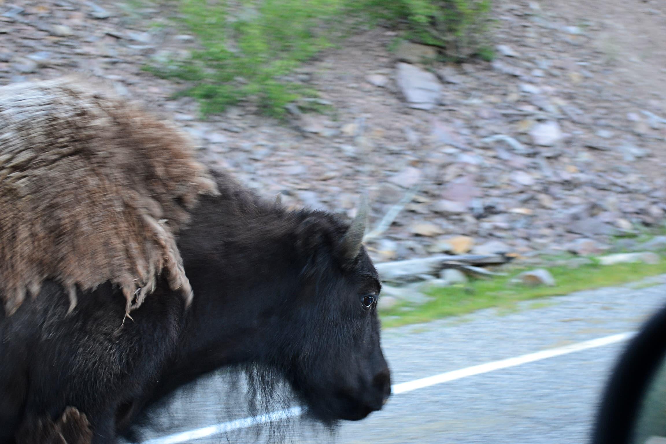 Eye to eye with a passing buffalo.