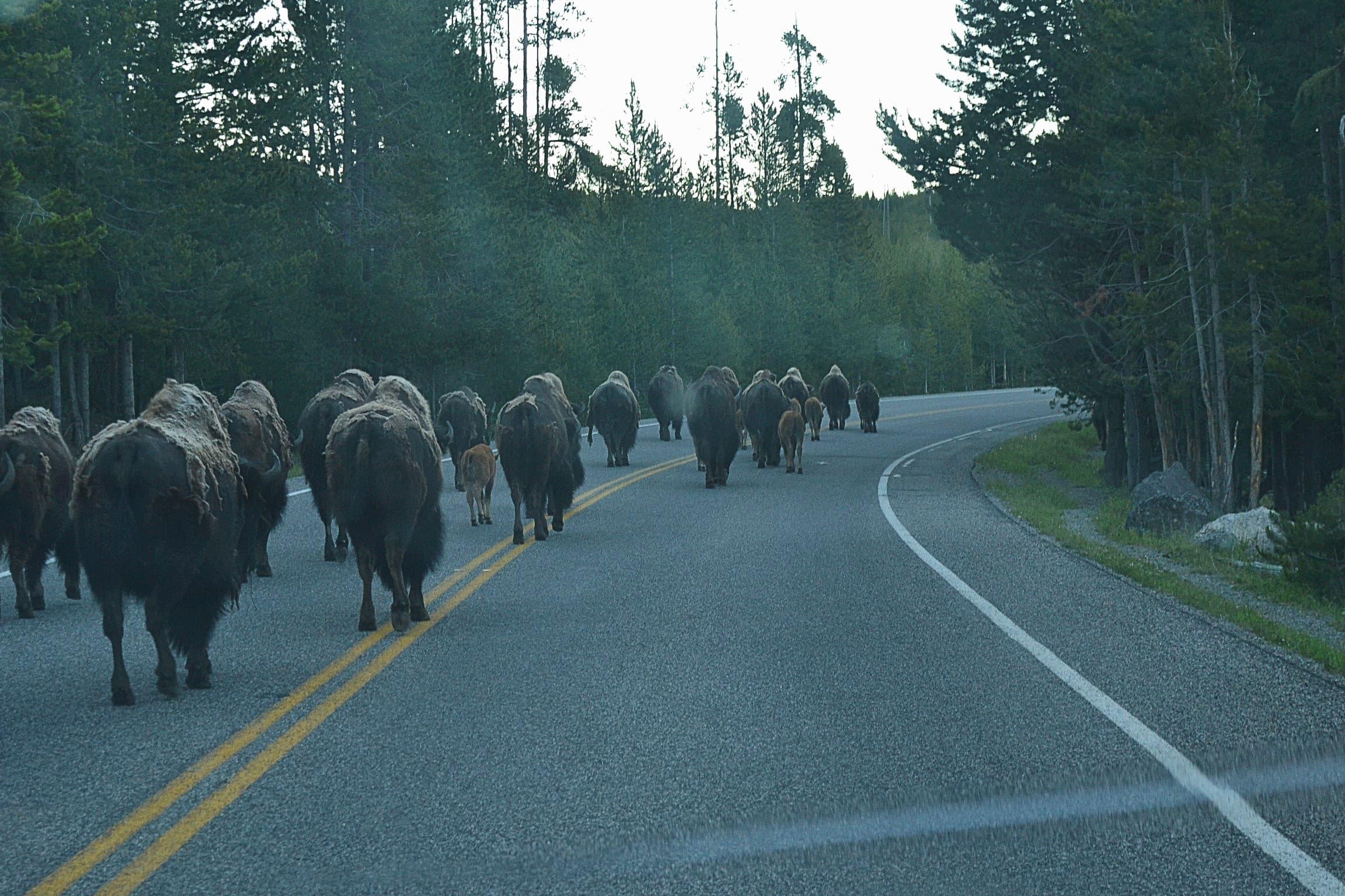 Herd of buffalo walking the road in Yellowstone park.