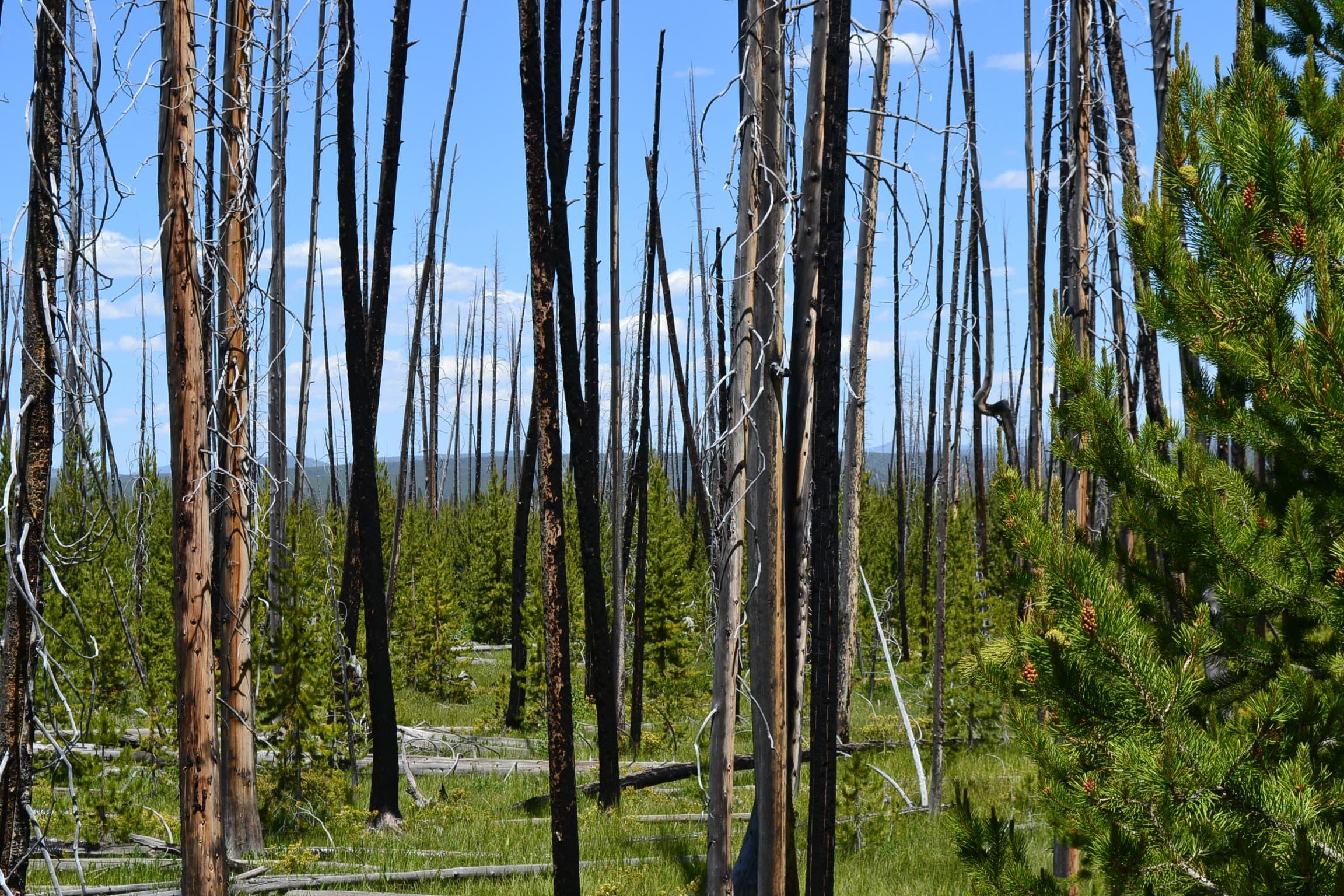 Burned trees along the Fairy Falls Trail.
