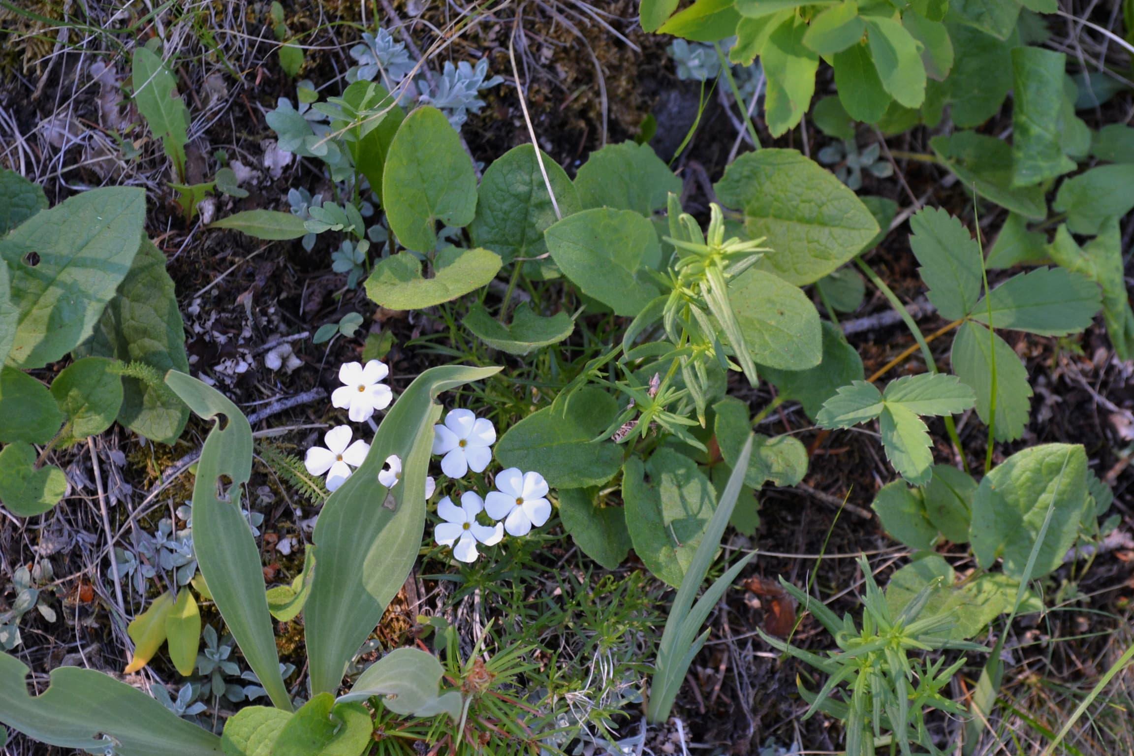 Carpet phlox wildflower