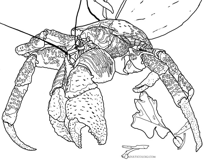 Coconut crab coloring page.