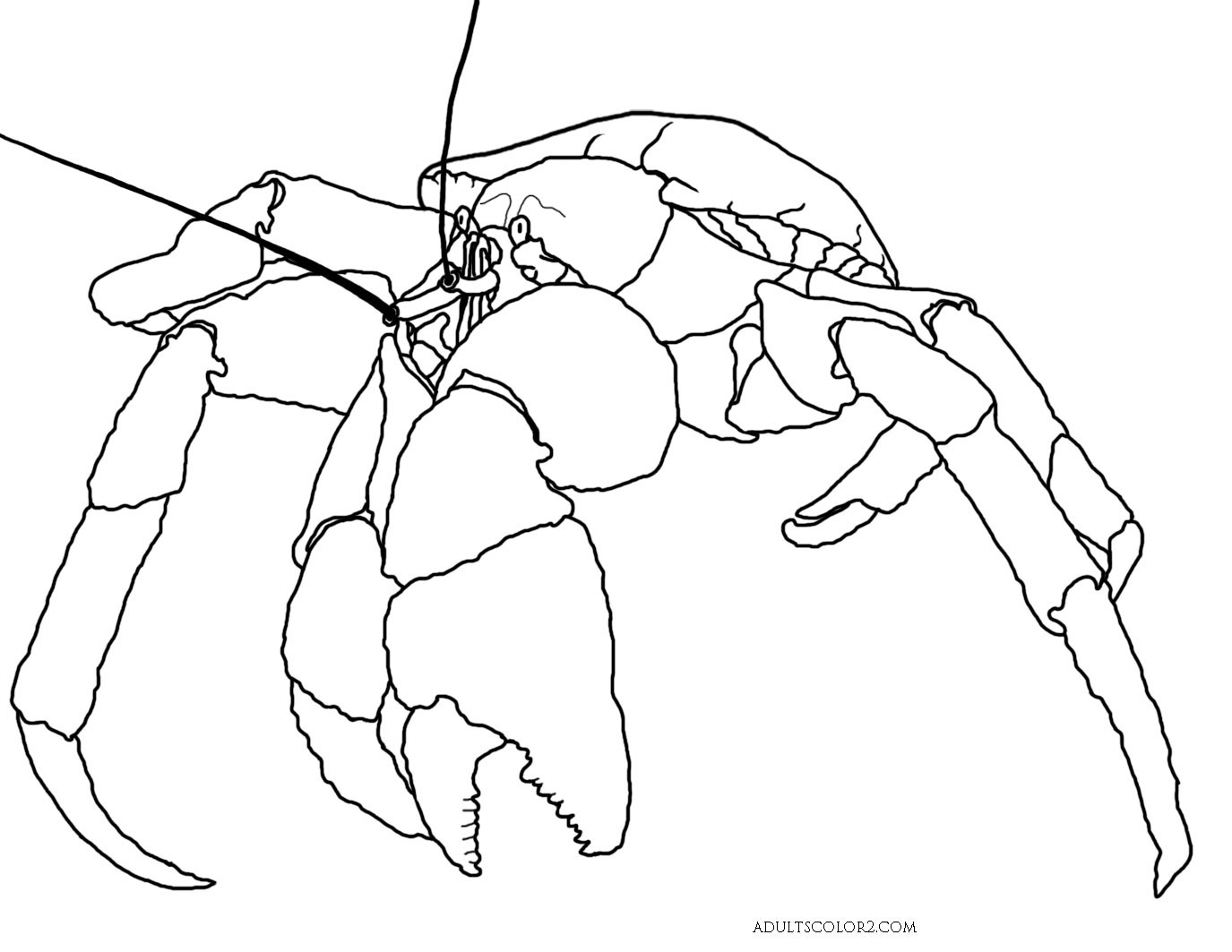 Plain coconut crab drawing.
