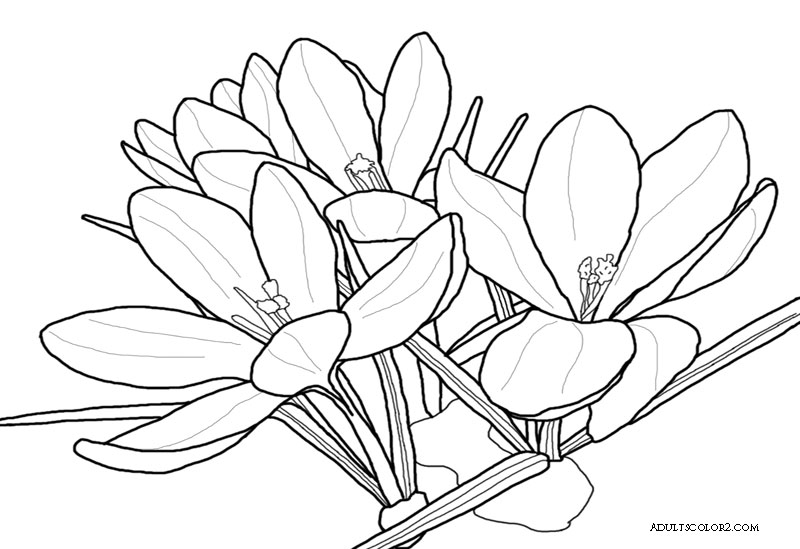 Spring flowers coloring page beautiful blossoms drawing of a crocus mightylinksfo