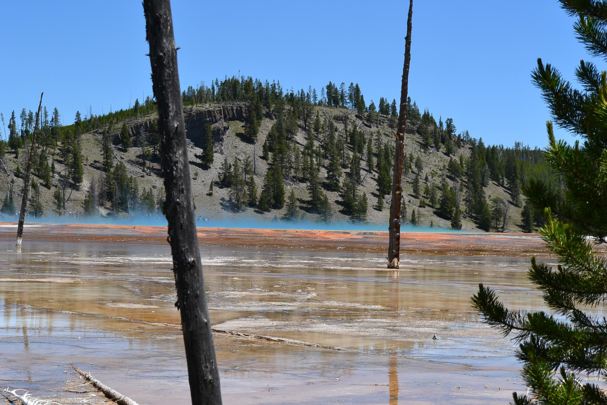 Dead trees in a thermal area of Yellowstone.