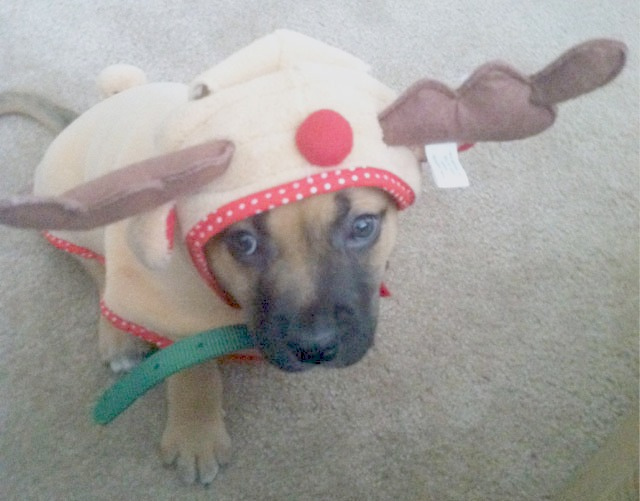 My daughter's puppy in a reindeer costume.