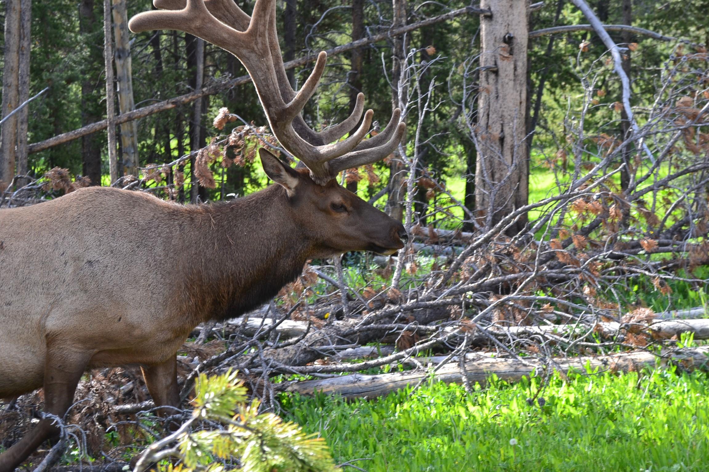 An elk closeup.