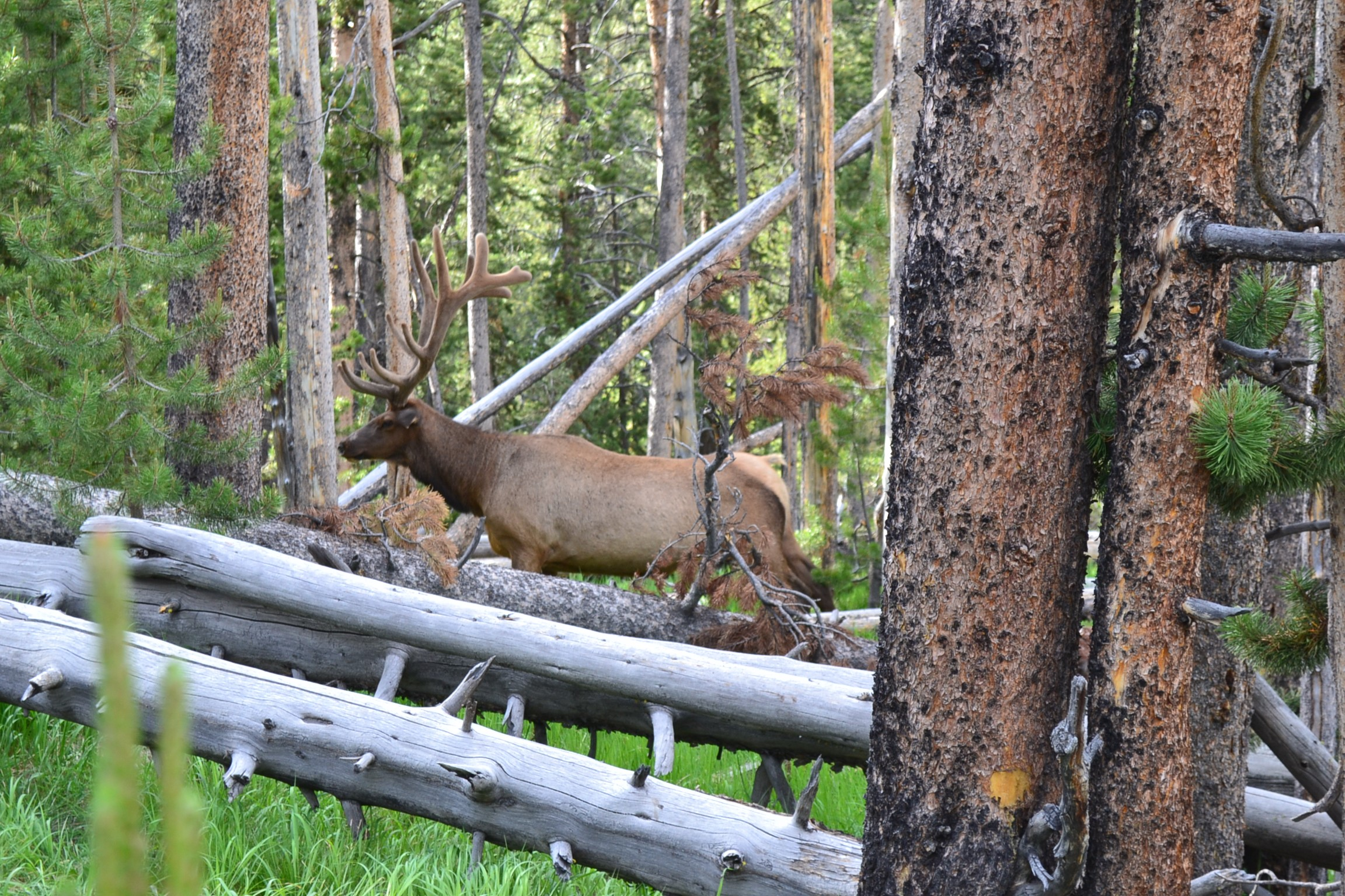 Elk posing in Yellowstone forest.