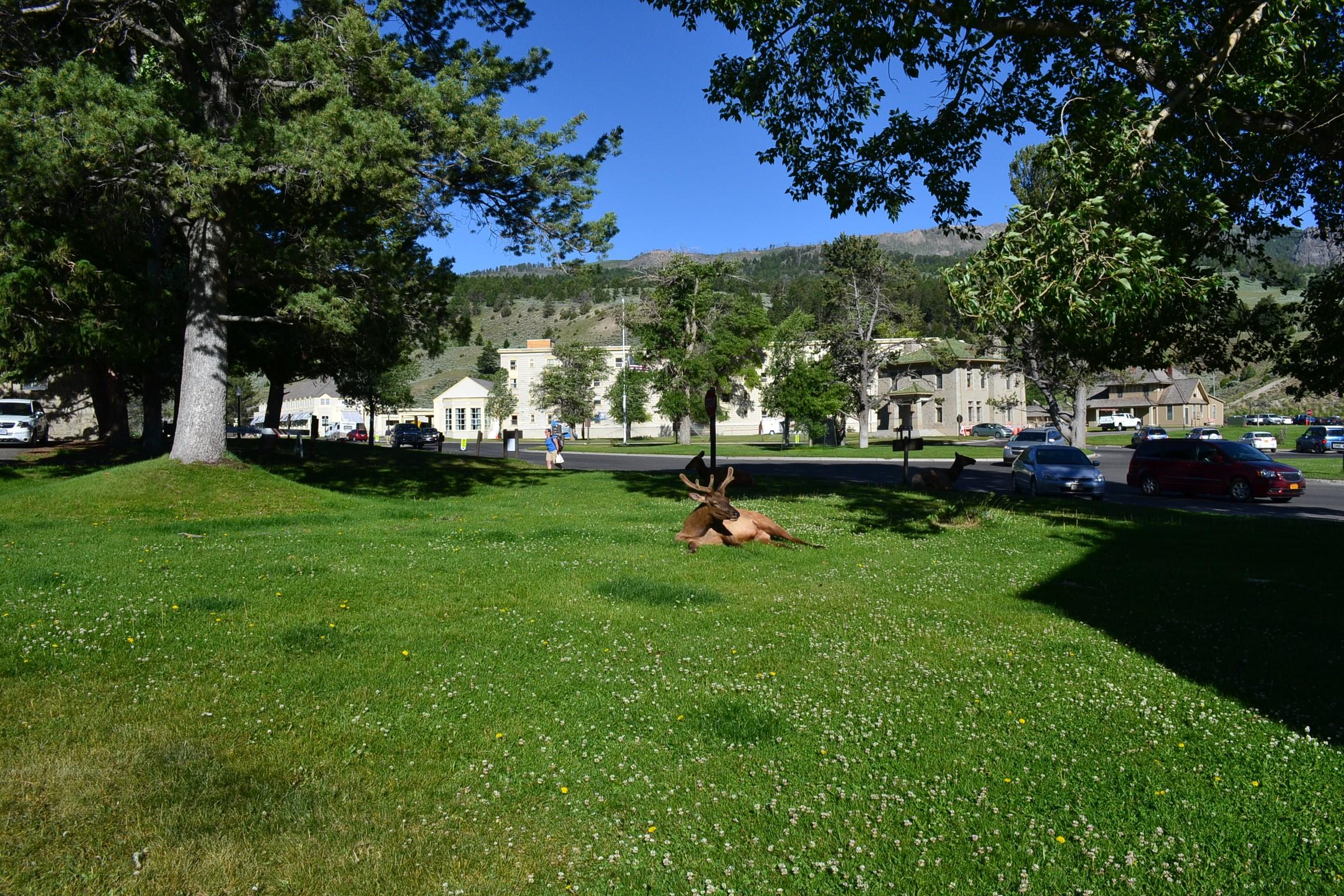 Elk relaxing on lawn in Mammoth Hot Springs.