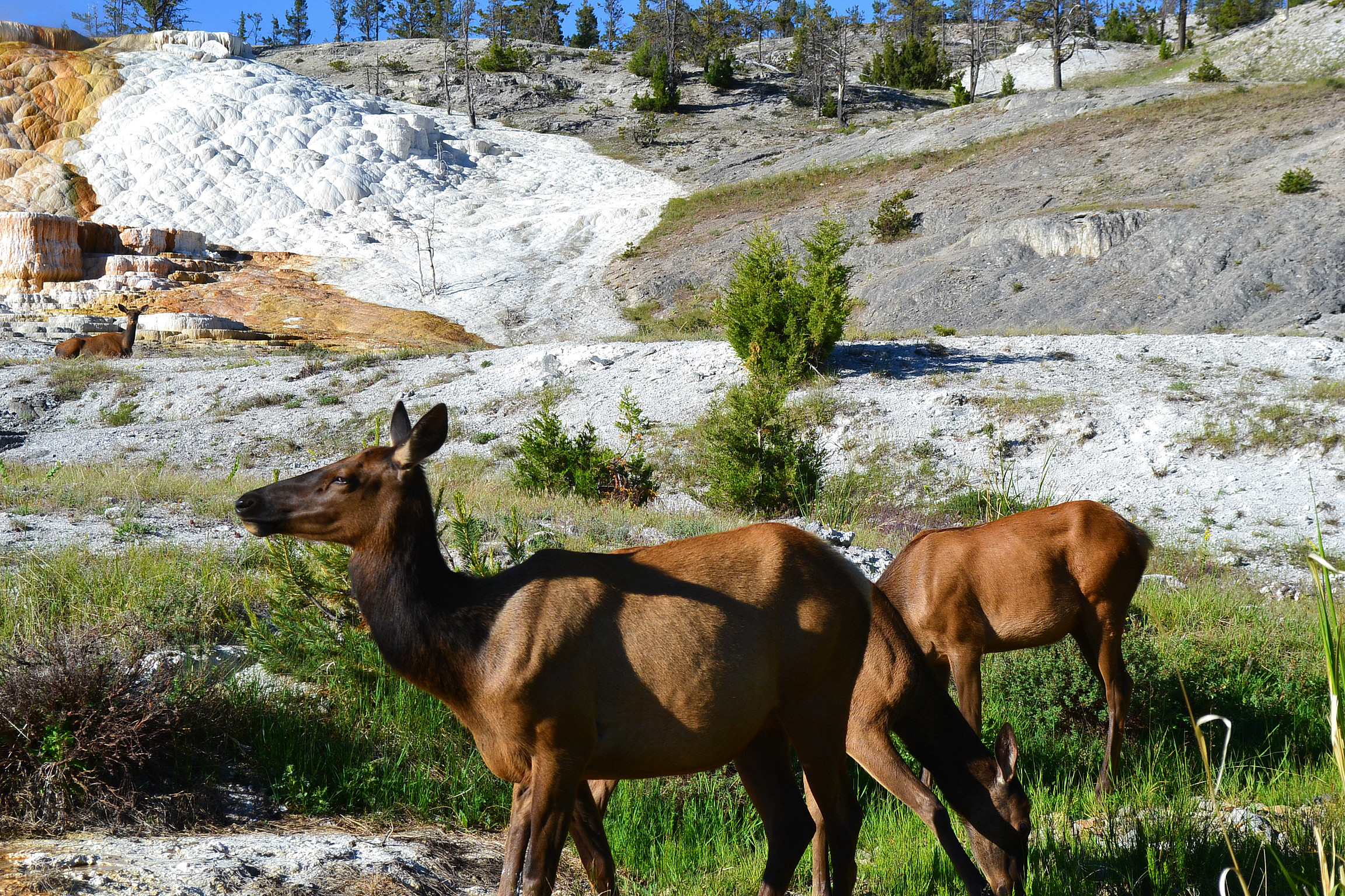 Young elk grazing near mammoth hot spring.