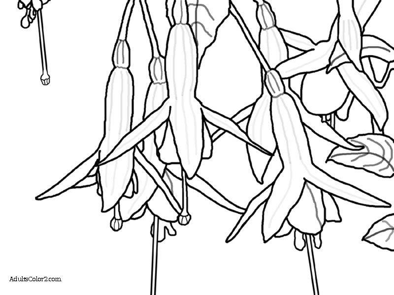 Drawing of dangling fuchsia blossoms.