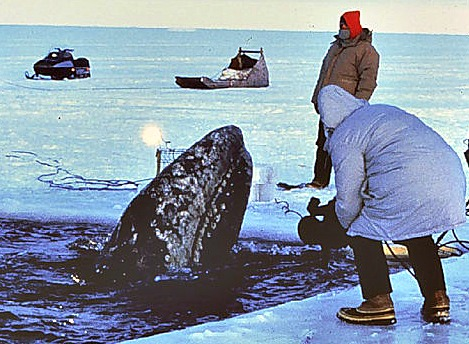 Gray whale trapped in ice being rescued by humans.