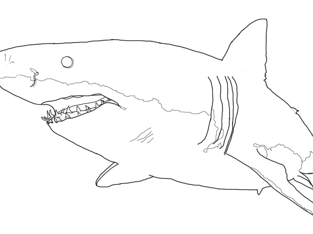 Great white drawing derived from photo by Sharkdiver68 posted on Wikimedia.