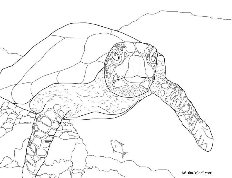 Drawing of a green sea turtle checking out the photographer.