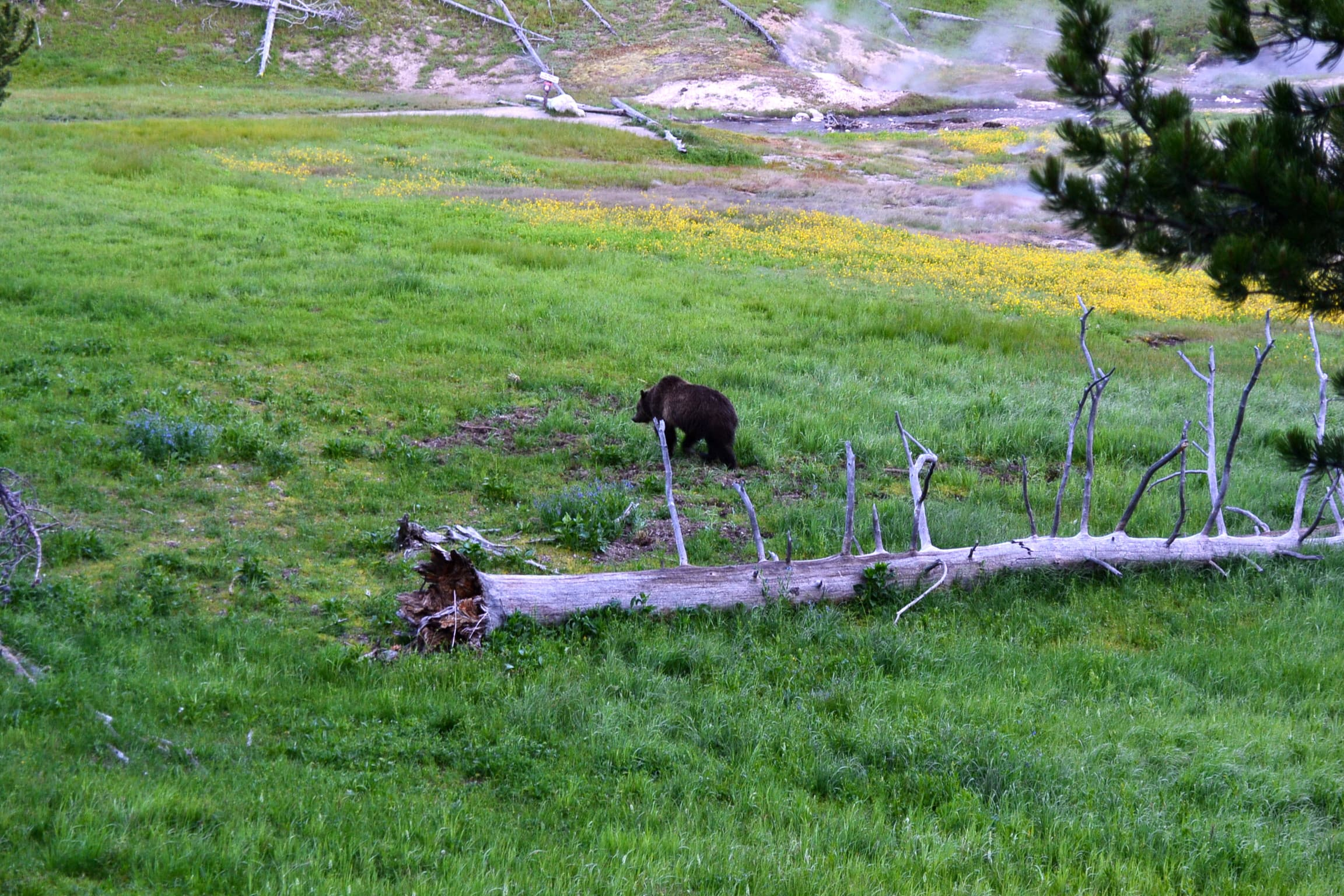 Grizzly bear walking away from tourists.