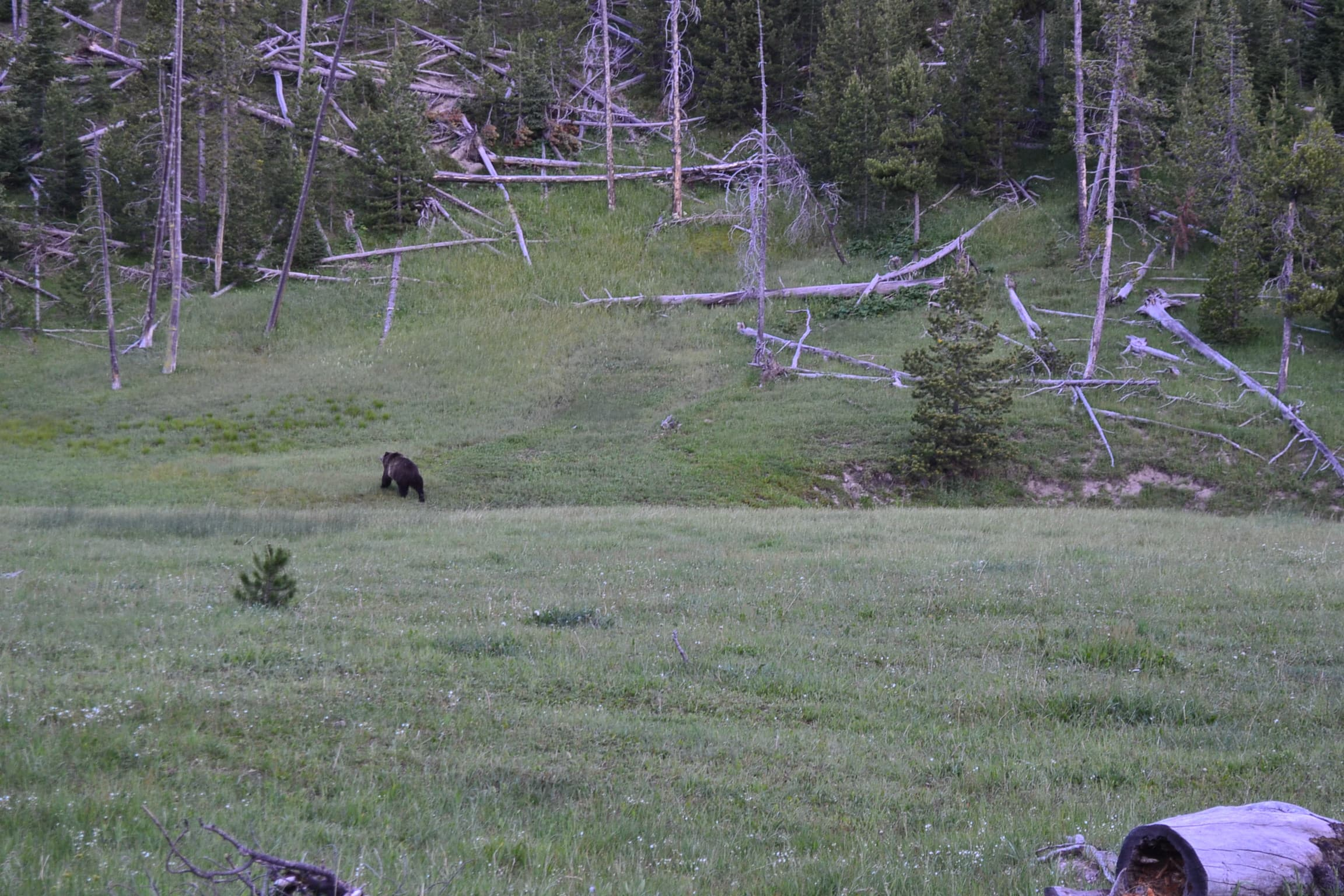 Grizzly heading for the hills Yellowstone park.