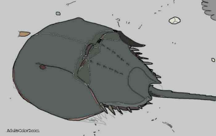 Horseshoe crab on beach drawing colored in.