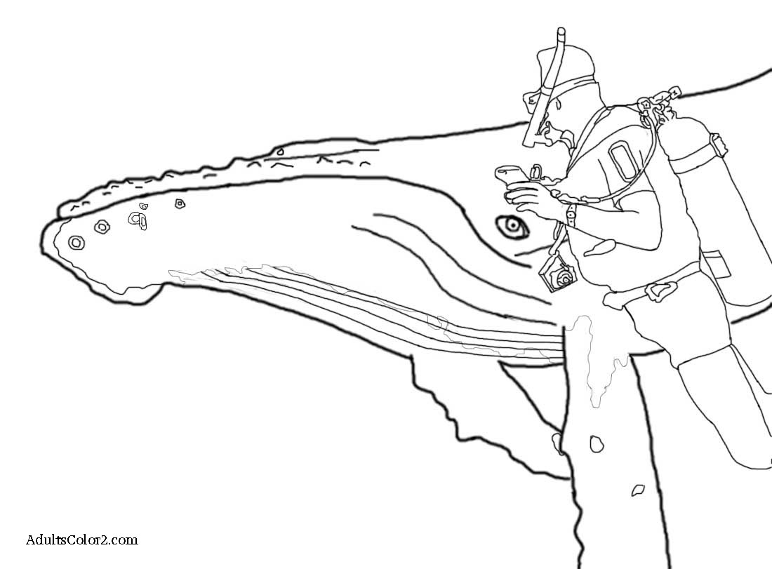 Drawing of a humpback whale investigating a diver.