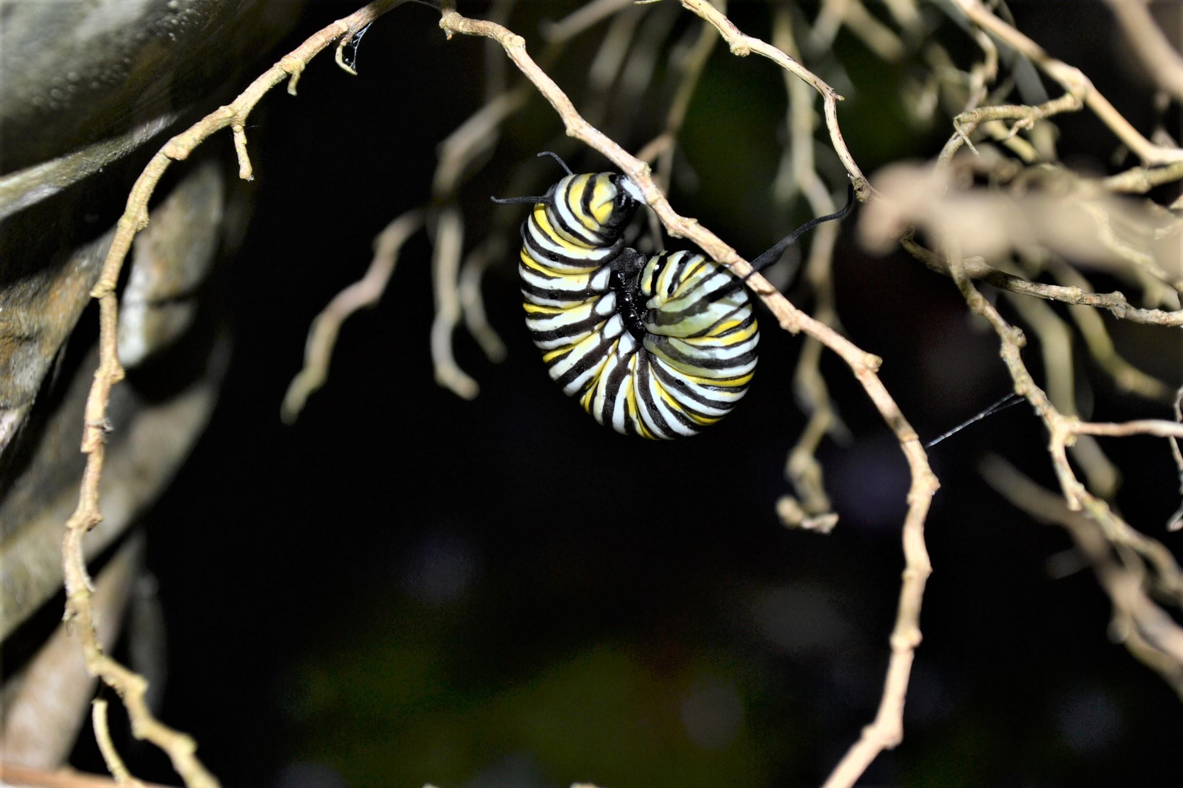 Caterpillar preparing to cocoon.