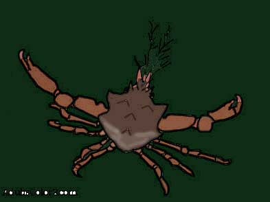 My kelp crab drawing colored in..