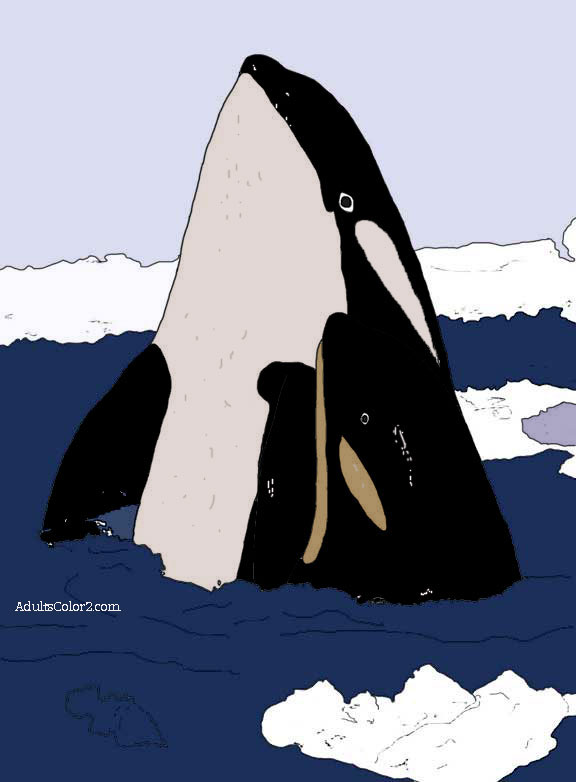 Killer whale with calf.