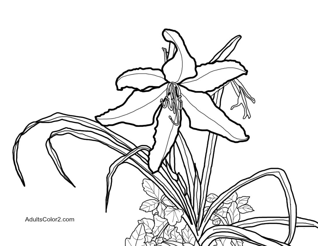Lily traced from my photo.