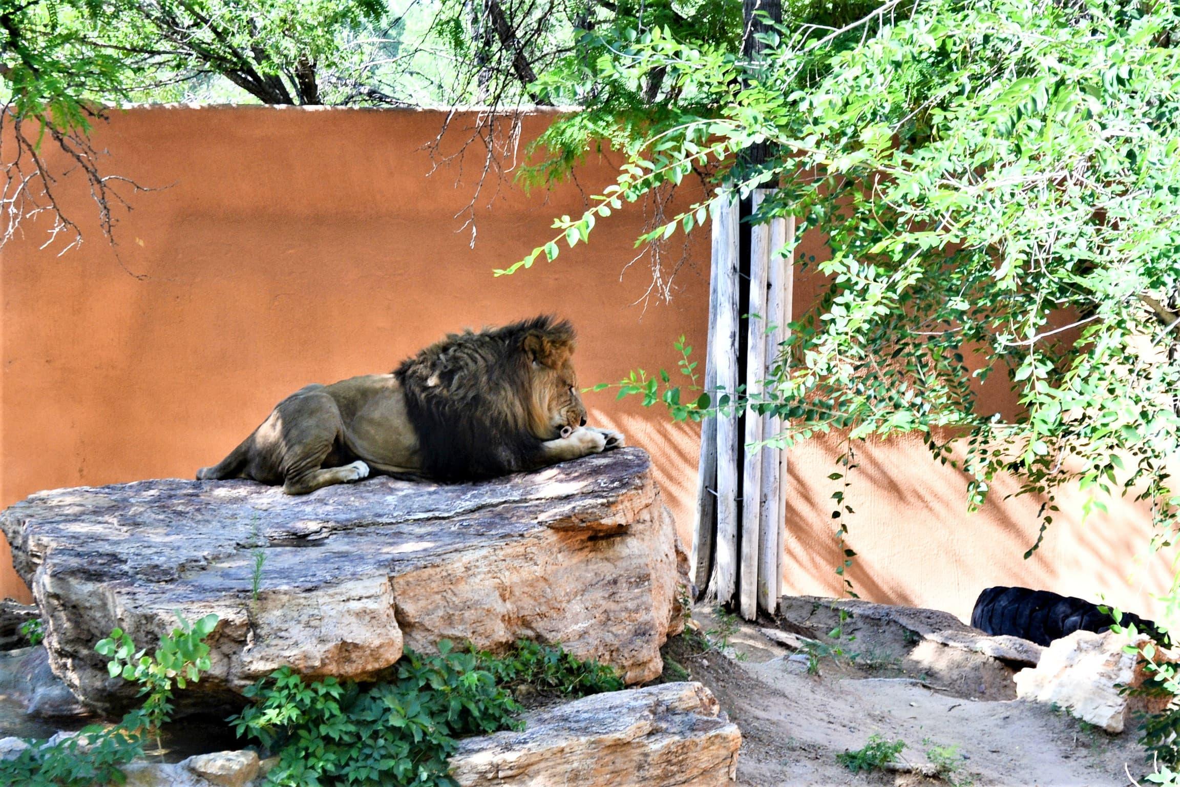 Lion eating breakfast.