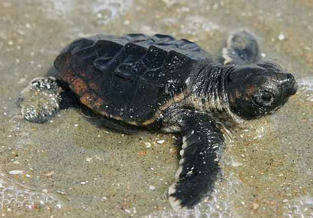 Tiny sea turtle heading to the ocean. Wikimedia
