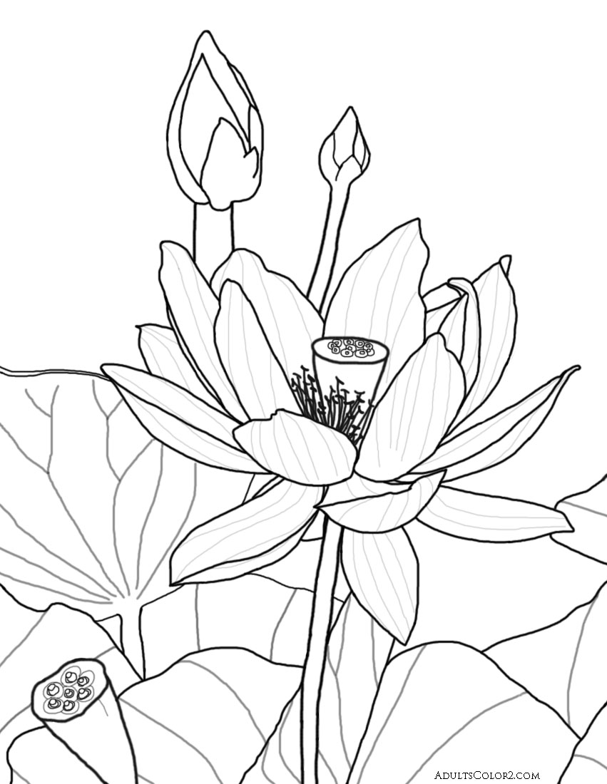 Coloring pages of flower buds - Fully Opened Lotus Blossom