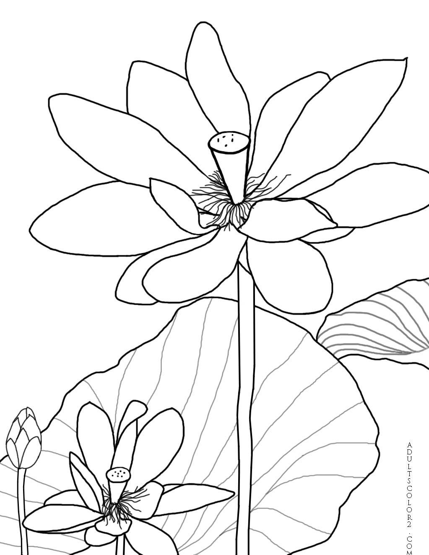 Blooming lotus.