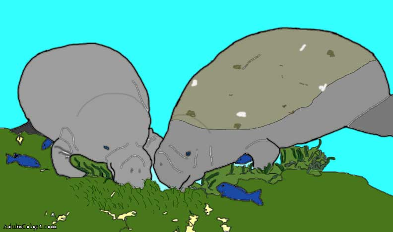 Manatees looking for lunch.