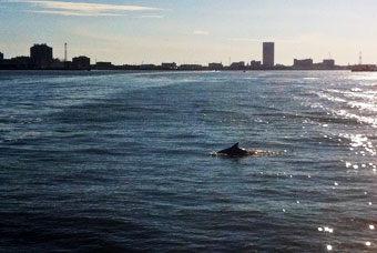 Dolphin surfacing.