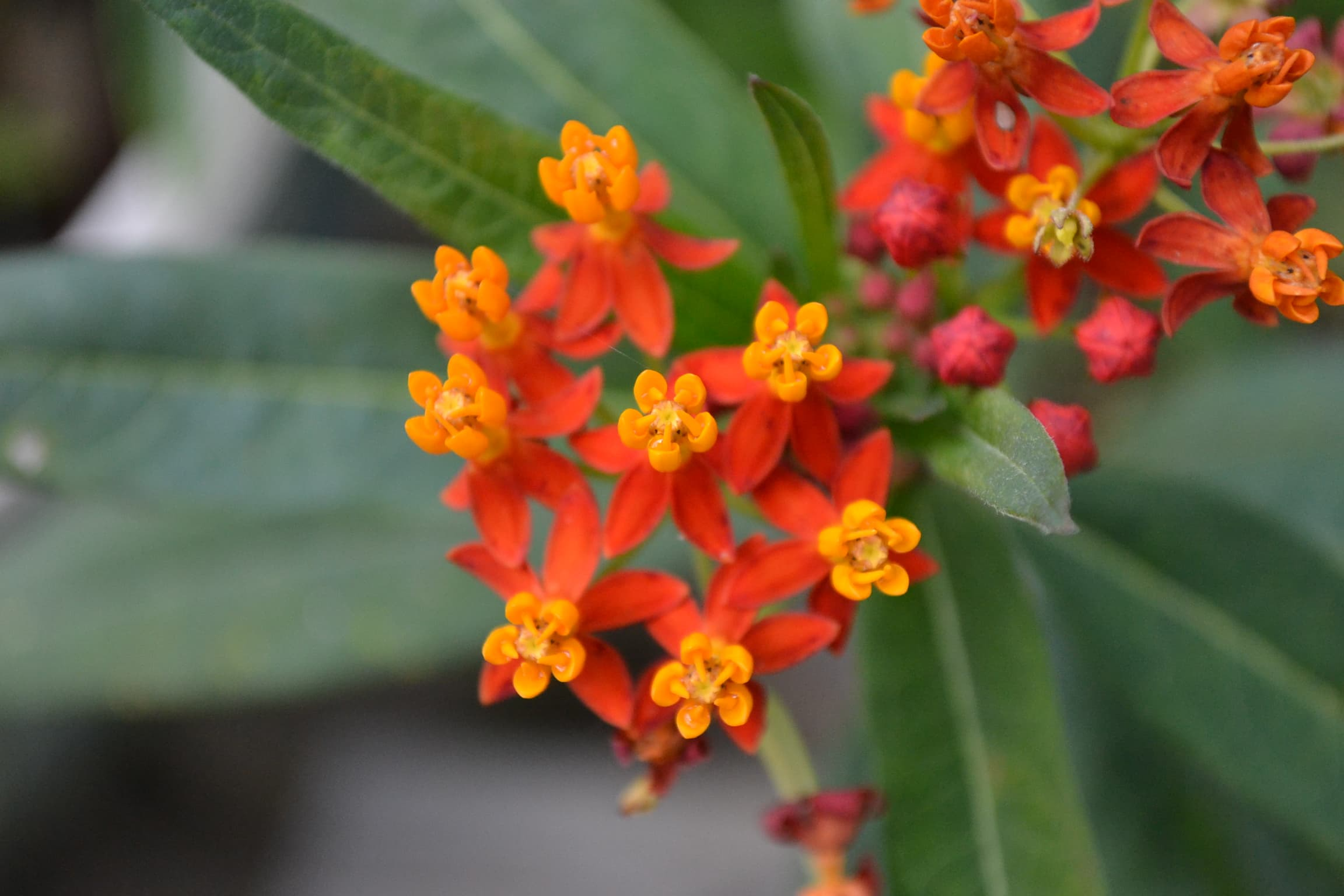 Closeup of the flowers of a Mexican milkweed or butterfly weed in my garden.
