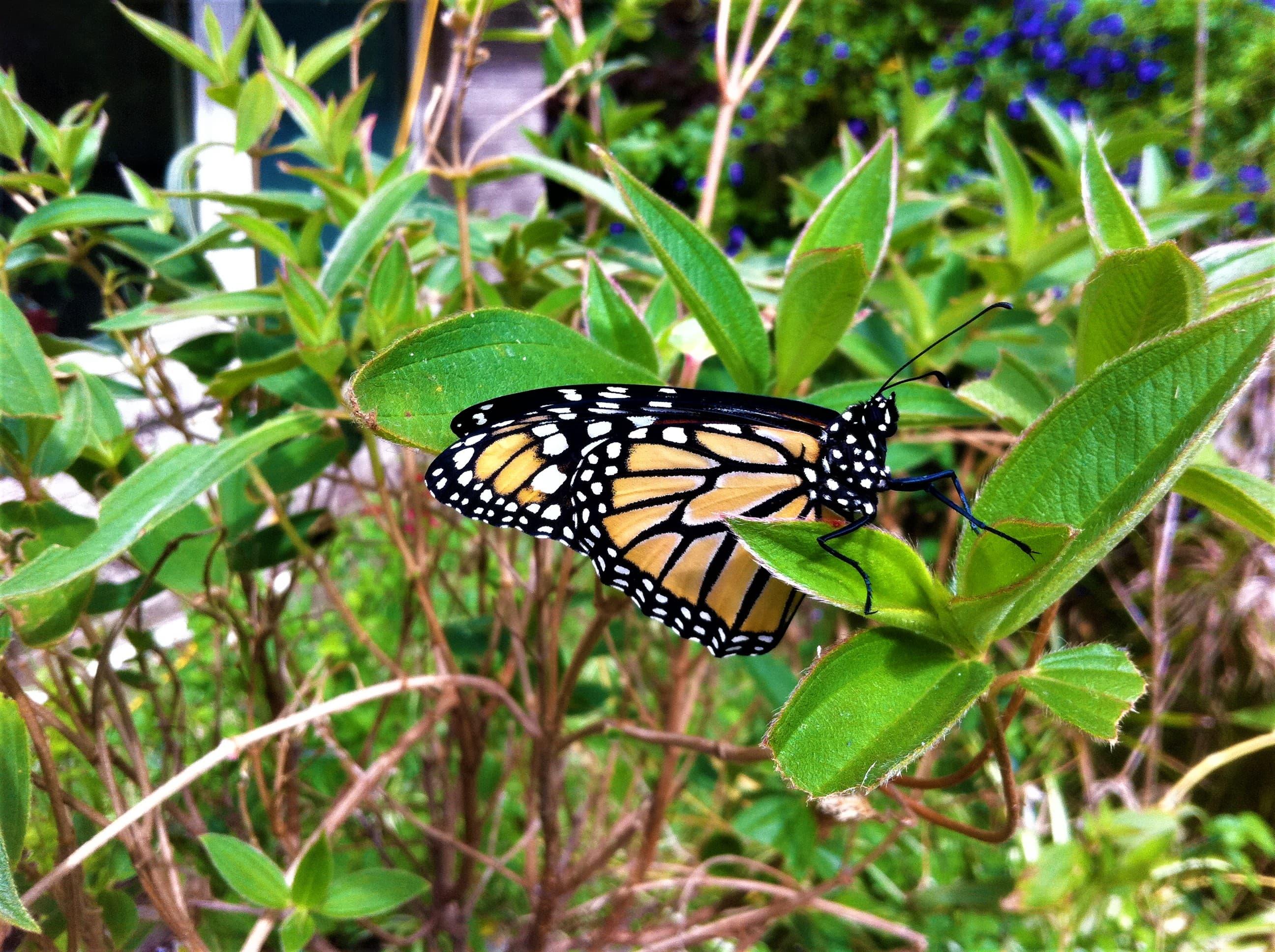 Monarch butterfly visiting my garden.