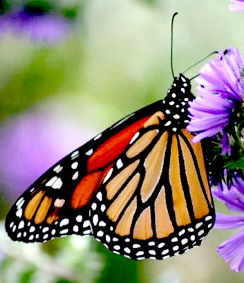 MOnarch butterfly feeding on a flower. Source:WikimediaCommons