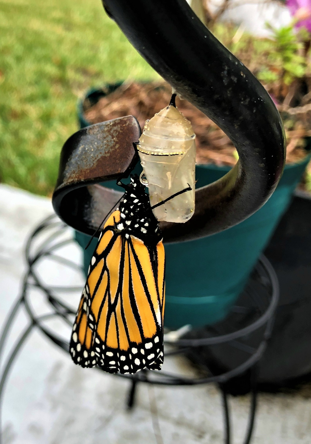 Butterfly hanging form its cocoon.
