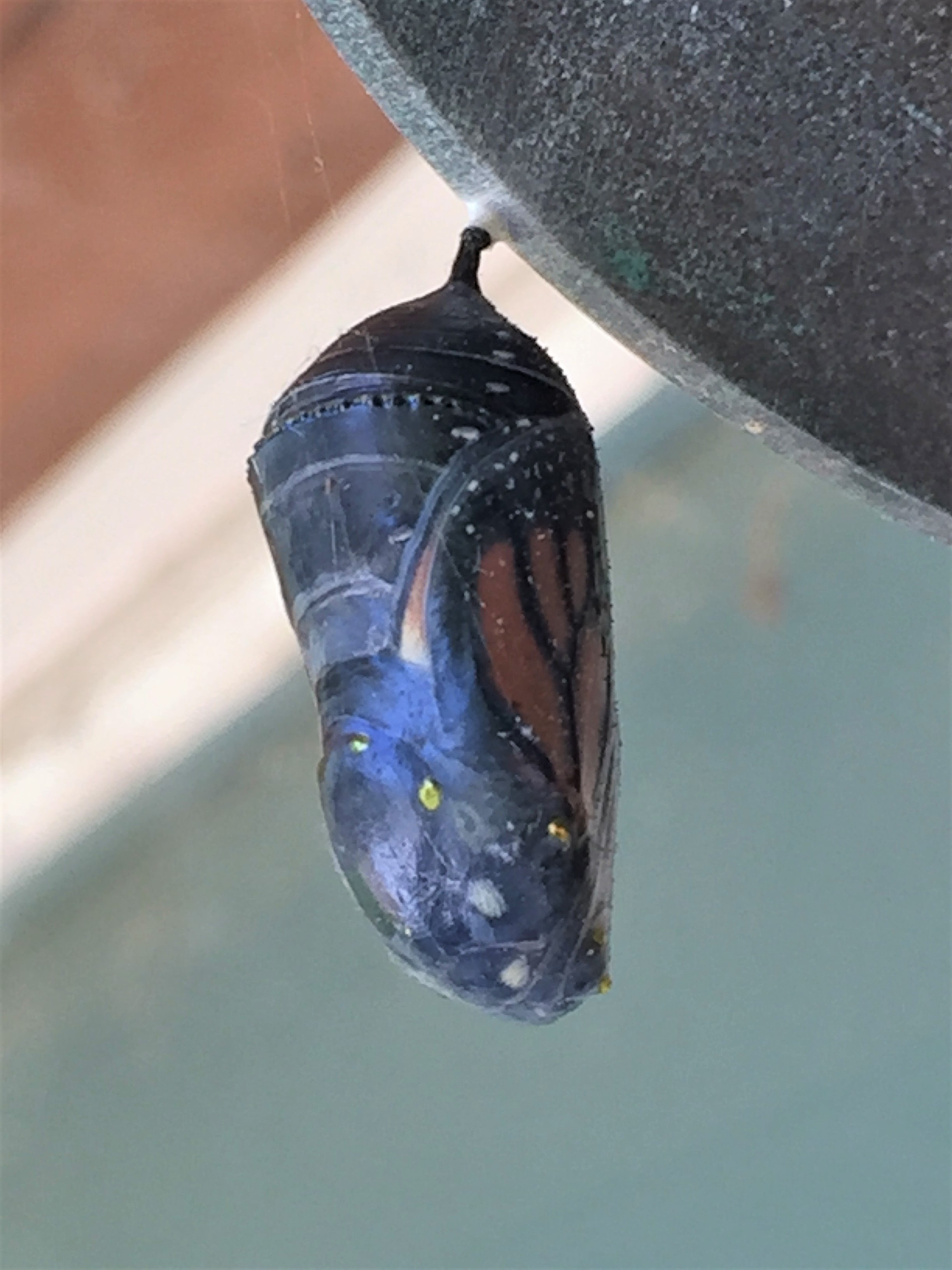 Monarch butterfly visible through its cocoon.