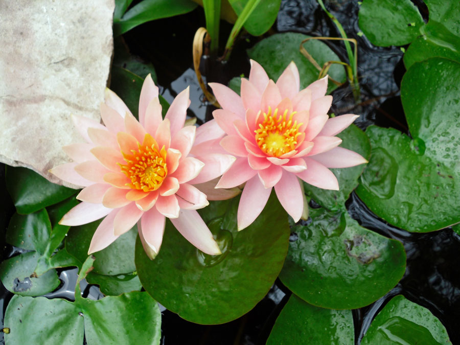 Water lily blossoms.