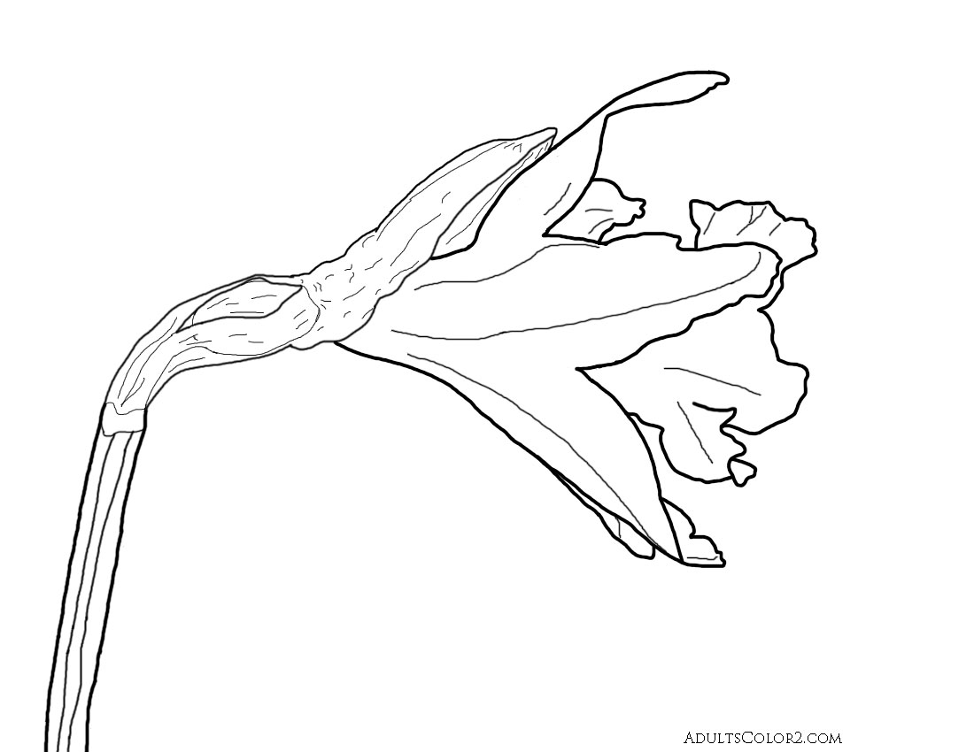 Drawing of a narcissus flower derived from a photo on Wikimedia.