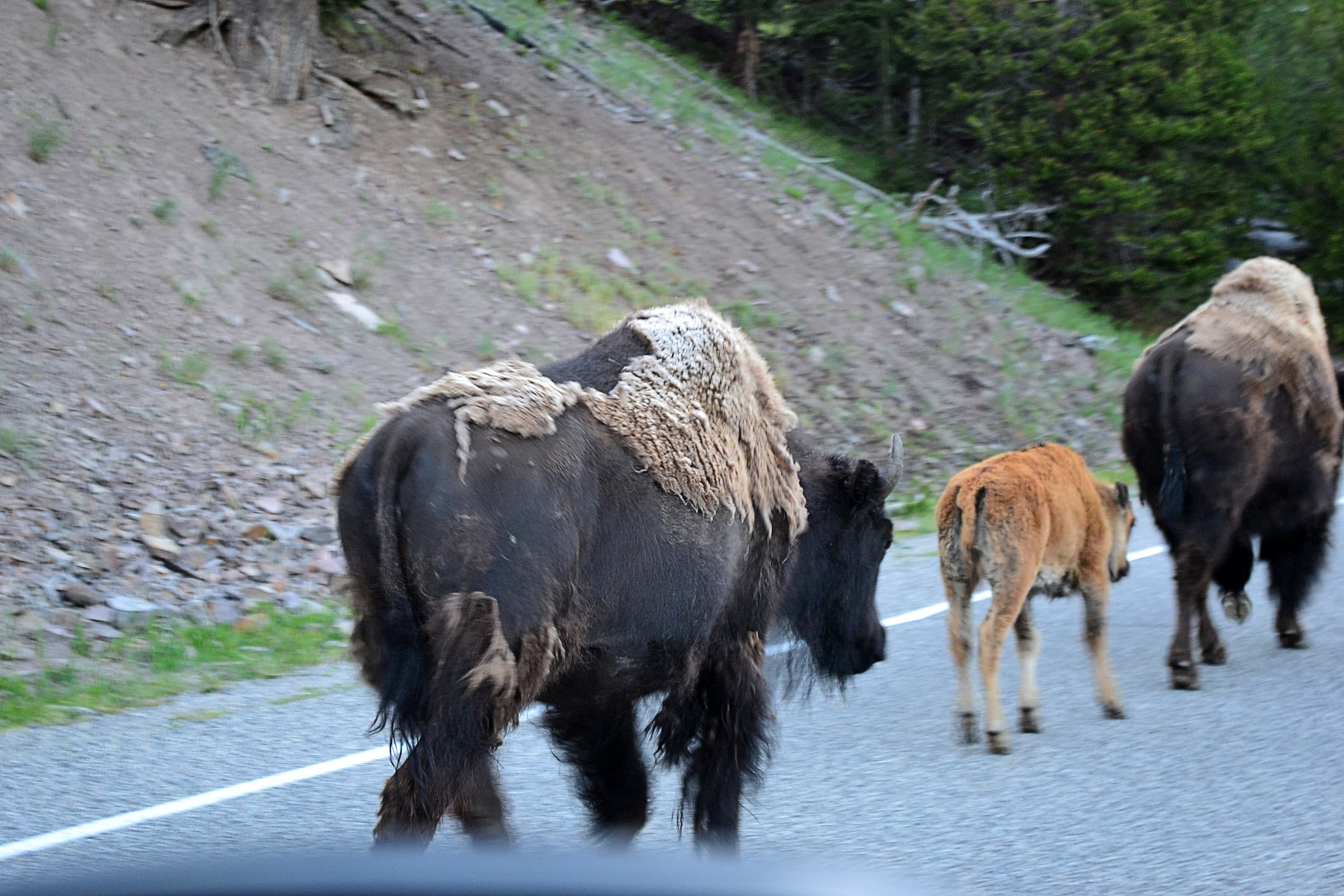 Passed by a herd of buffalo going to its  grazing grounds.