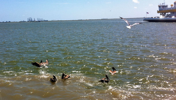 Pelicans in the water.